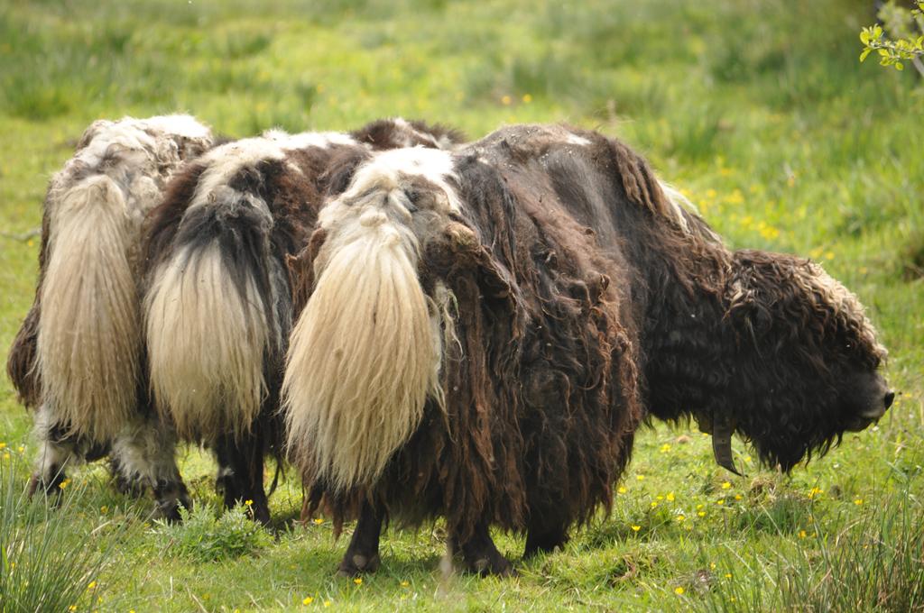 Yak Rinder auf der Weide